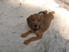 Redbone Coonhound, 8 weeks, red